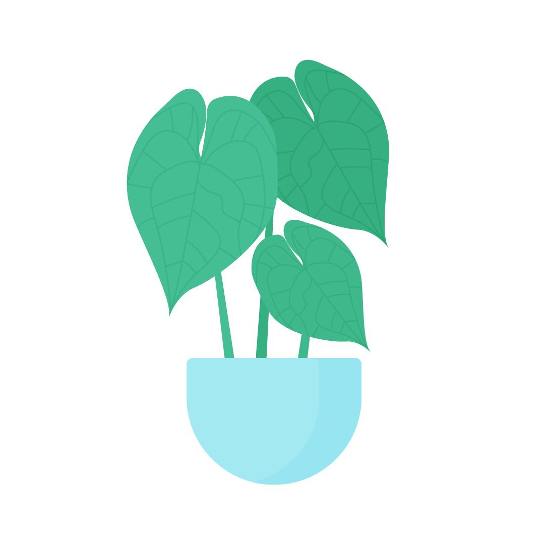 Vector illustration of Anthurium Clarinervium Plant in flat design style